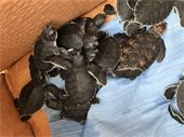 Rescued Turtles